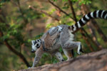 Ring-tailed lemur with baby [madagascar_5716]