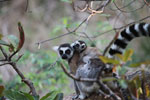 Ring-tailed lemur with baby [madagascar_5724]