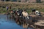 Bara cattle herders [madagascar_5931]