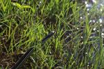 Bernier's Striped Snake (Dromicodryas bernieri) [madagascar_5939]