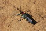 Gaudy locust