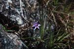 Purple flower [madagascar_6059]