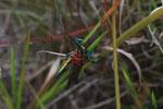 Rainbow locust