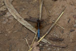 Blue dragonfly [madagascar_6124]