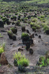 Burned clumps of grass in Andringitra