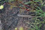 Zonosaurus ornatus [madagascar_6301]