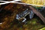 Frog [madagascar_6317]