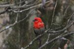 Red cardinal fody (Foudia madagascariensis) [madagascar_6326]