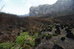 Ferns emerging from charred earth [madagascar_6394]