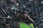 Grasshopper [madagascar_6416]