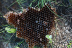 Honeycomb [madagascar_6420]