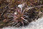 Andringitra plant [madagascar_6487]