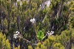 Andringitra plant [madagascar_6488]