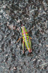 Neon green, turquoise, purple, red, and orange grasshopper [madagascar_6509]