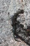 Gecko [madagascar_6540]