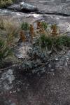 Andringitra plants [madagascar_6624]