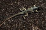Lizard [madagascar_6676]