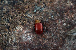 Red and orange Galerucinae Leaf Beetle