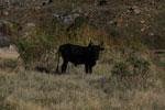 Zebu bull in Madagascar