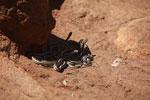 Mass of snakes (Dromicodryas bernieri) [madagascar_6827]