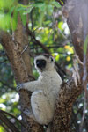 Verreaux's sifaka in Isalo