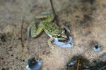 Frog [madagascar_7208]