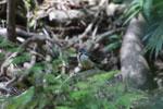 Madagascar Wagtail (Motacilla flaviventris)