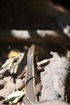 Zonosaurus lizard [madagascar_7253]