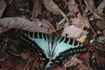 Green-blue swallow-tail butterfly [madagascar_7256]
