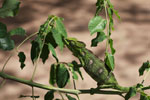 Furcifer oustaleti chameleon (juvenile-bright green) [madagascar_7295]