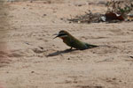 Madagascar bee-eater [madagascar_7307]