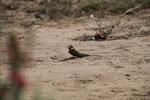 Madagascar bee-eater [madagascar_7309]