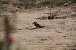 Madagascar bee-eater [madagascar_7310]