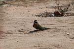 Madagascar bee-eater [madagascar_7312]