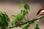 Furcifer oustaleti chameleon (juvenile-bright green) [madagascar_7319]