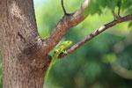 Furcifer oustaleti chameleon (juvenile-bright green) [madagascar_7322]