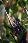 Furcifer oustaleti chameleon (light brown) [madagascar_7331]