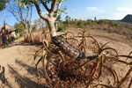 Furcifer oustaleti chameleon in an aloe plant