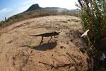 Oustalet's chameleon walking across sand near Isalo [madagascar_7334]