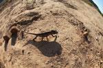 Oustalet's chameleon walking across sand near Isalo [madagascar_7352]