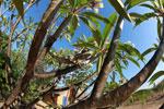 Oustalet's chameleon in a Plumeria tree