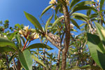 Oustalet's chameleon in a Plumeria tree [madagascar_7358]