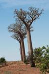 Adansonia za Baobabs [madagascar_7454]
