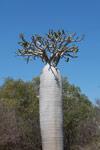 Pachypodium geayi (local name: Vontaka)