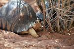 Radiated tortoise (Astrochelys radiata) [madagascar_7703]