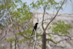 Crested drongo [madagascar_7706]