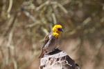 Sakalava Weaver (Ploceus sakalava) [madagascar_7710]