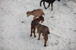 Kid (goat) [madagascar_7786]