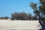 Allauadia procera forest