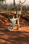 Verreaux's Sifaka sitting in a tree
